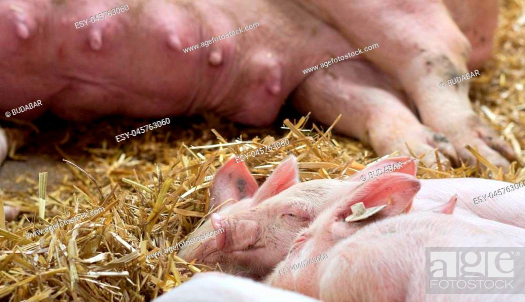 Stock Photo: Close up of cute piglets sleeping on straw after suckling. Sow in background.