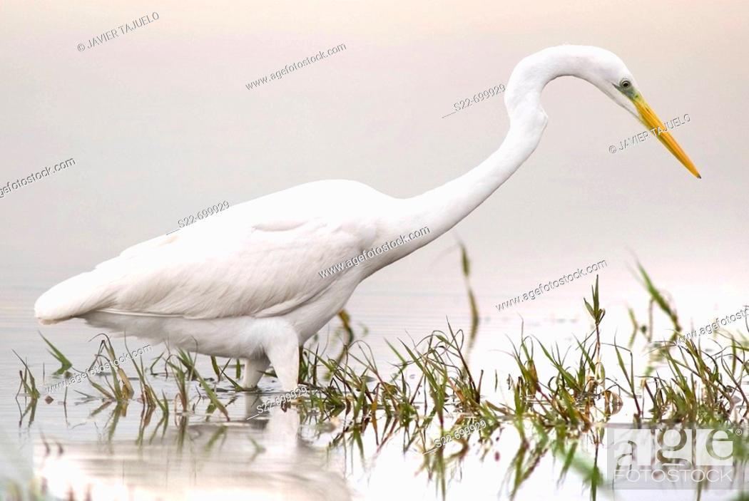 Stock Photo: Great White Egret (Egretta alba). La Albufera Natural Park, Valencia, Comunidad Valenciana, Spain.