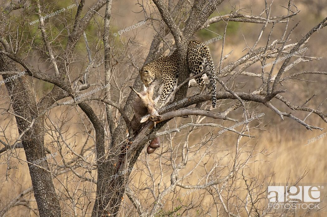 Photo de stock: Leopard with pray, Panthera pardus, Kruger National Park, South Africa.