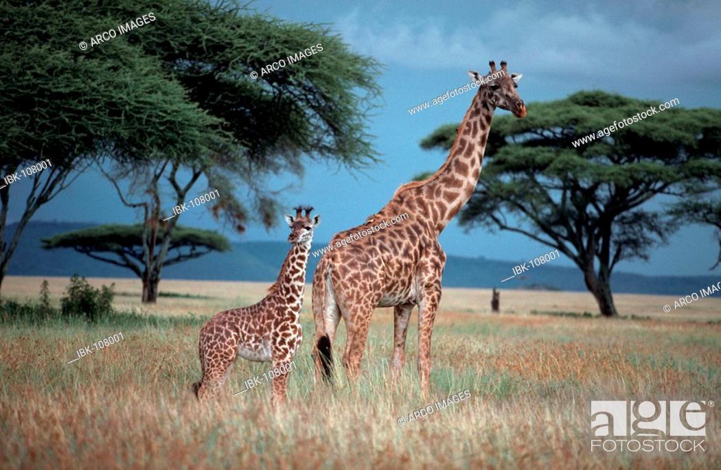 Stock Photo: Giraffe with calf, Massai Mara Game Reserve, Kenya / (Giraffa camelopardalis tippelskirchii).