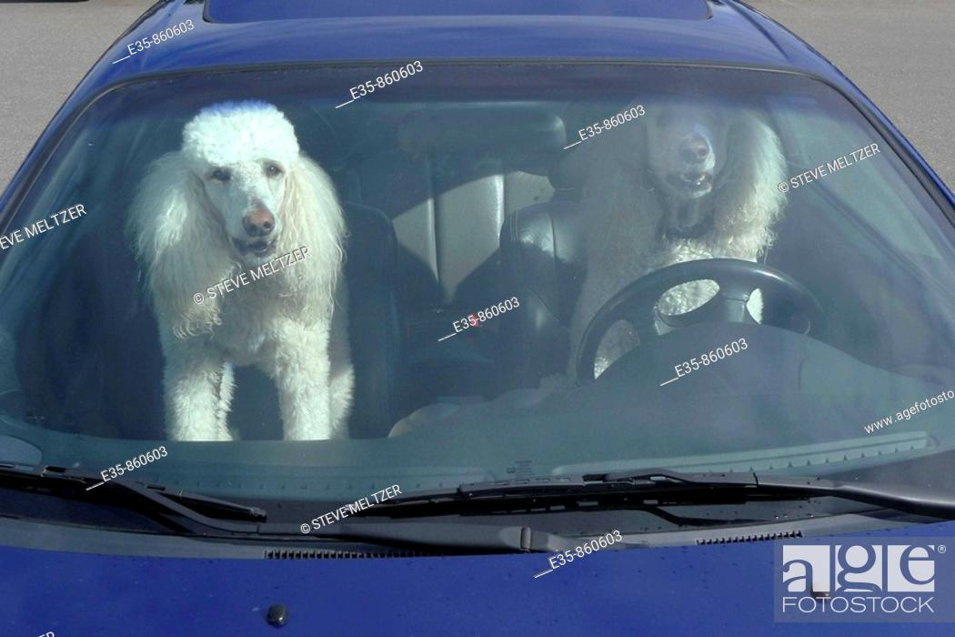 Stock Photo: poodles dogs driving car  auto animals humor.