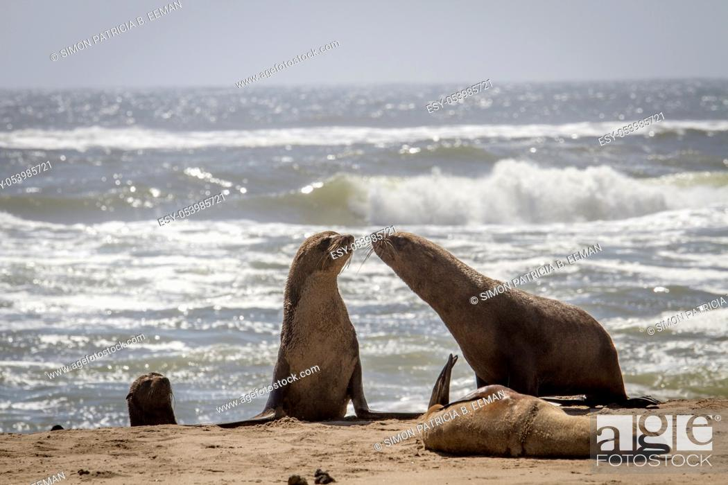Stock Photo: Group of Cape fur seals on the coast of the Namibian Desert, Namibia.