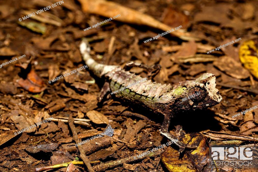 Stock Photo: Male leaf chameleon (Brookesia ambreensis) on the ground, Amber Mountain National Park, Diana, Madagascar.