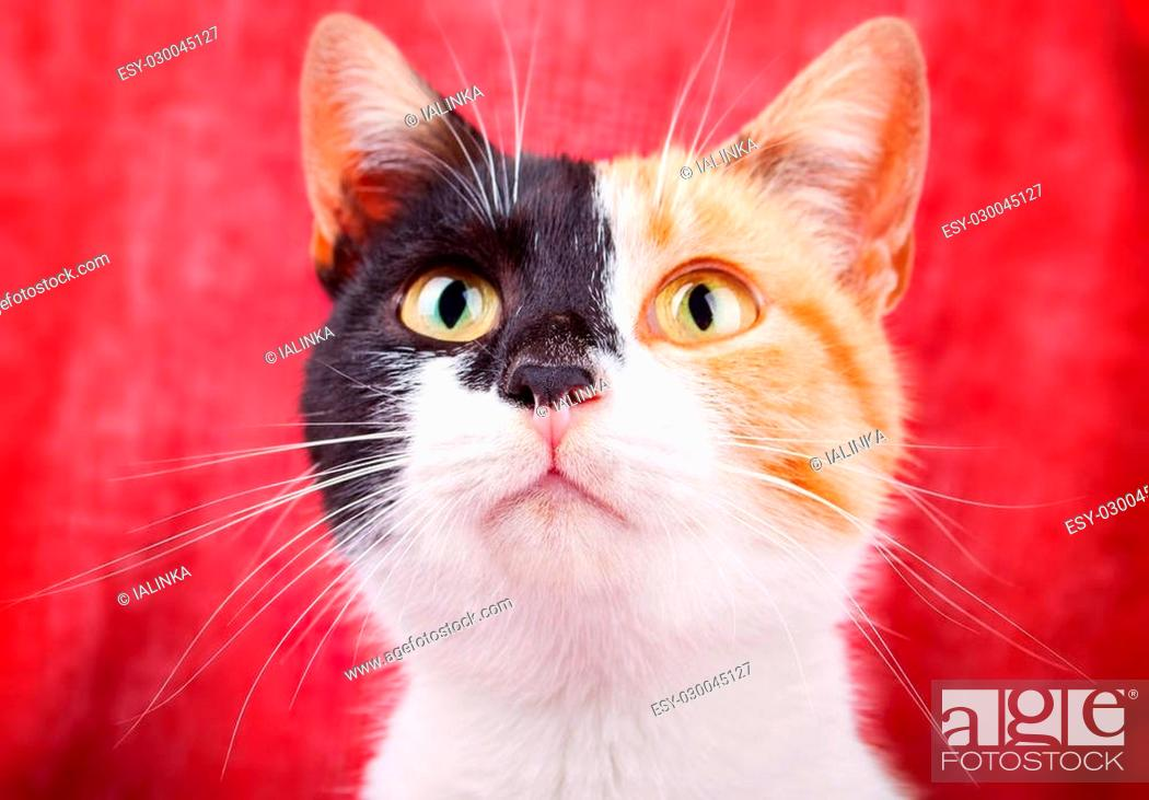 Stock Photo: Amusing and Funny Calico Cat Gazing Attentively.
