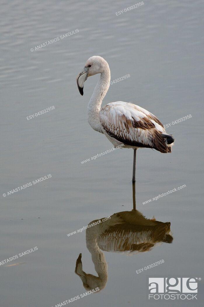 Stock Photo: Greater Flamingo (Phoenicopterus roseus), Greece.