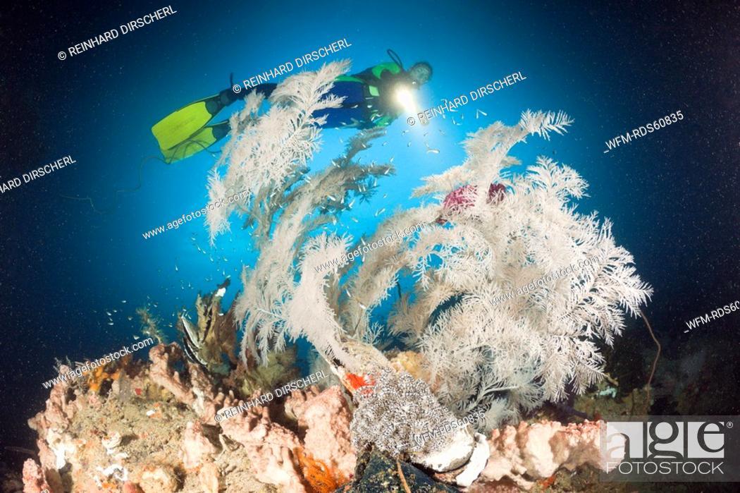 Stock Photo: Black Coral and Scuba Diver, Antipathes dichotoma, Raja Ampat, West Papua, Indonesia.