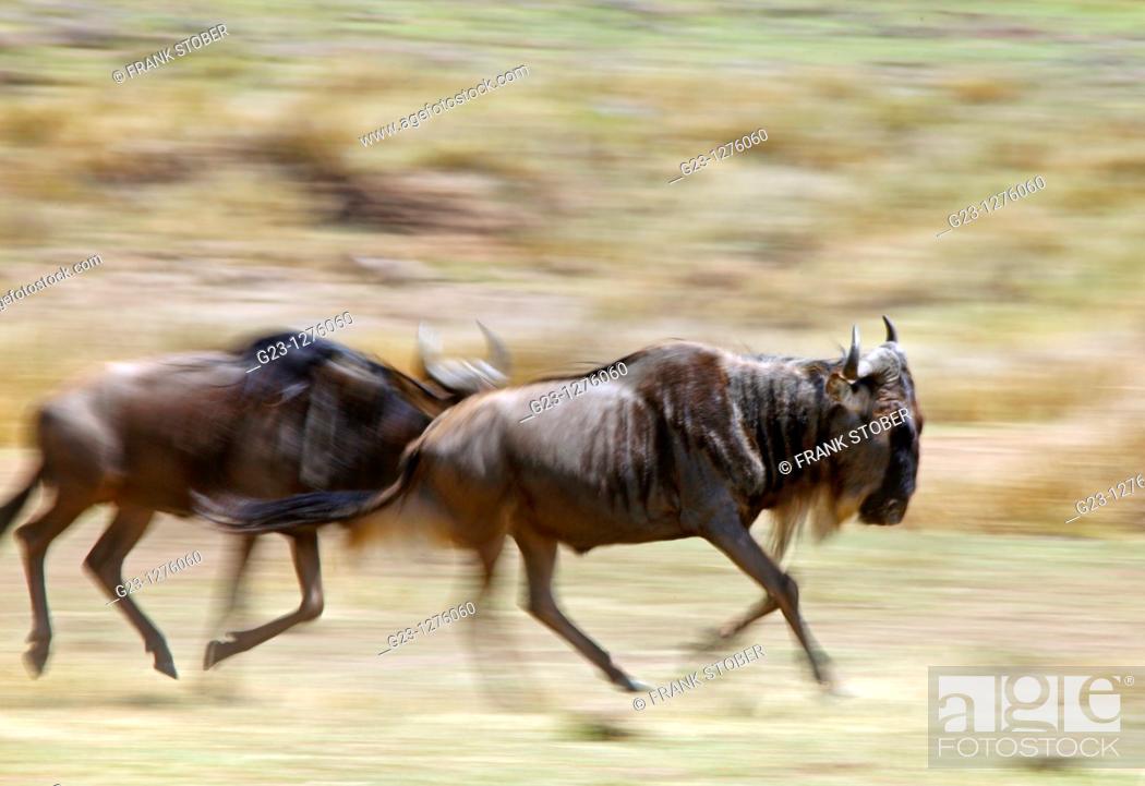 Stock Photo: Wildebeests in Action.