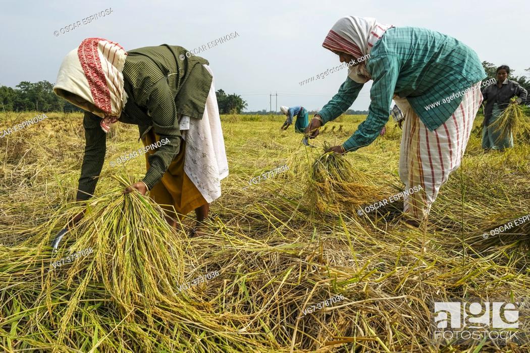 Stock Photo: Majuli Island, India - November 2020: Women harvesting the rice crop in Majuli Island on November 19, 2020 in Assam, India.