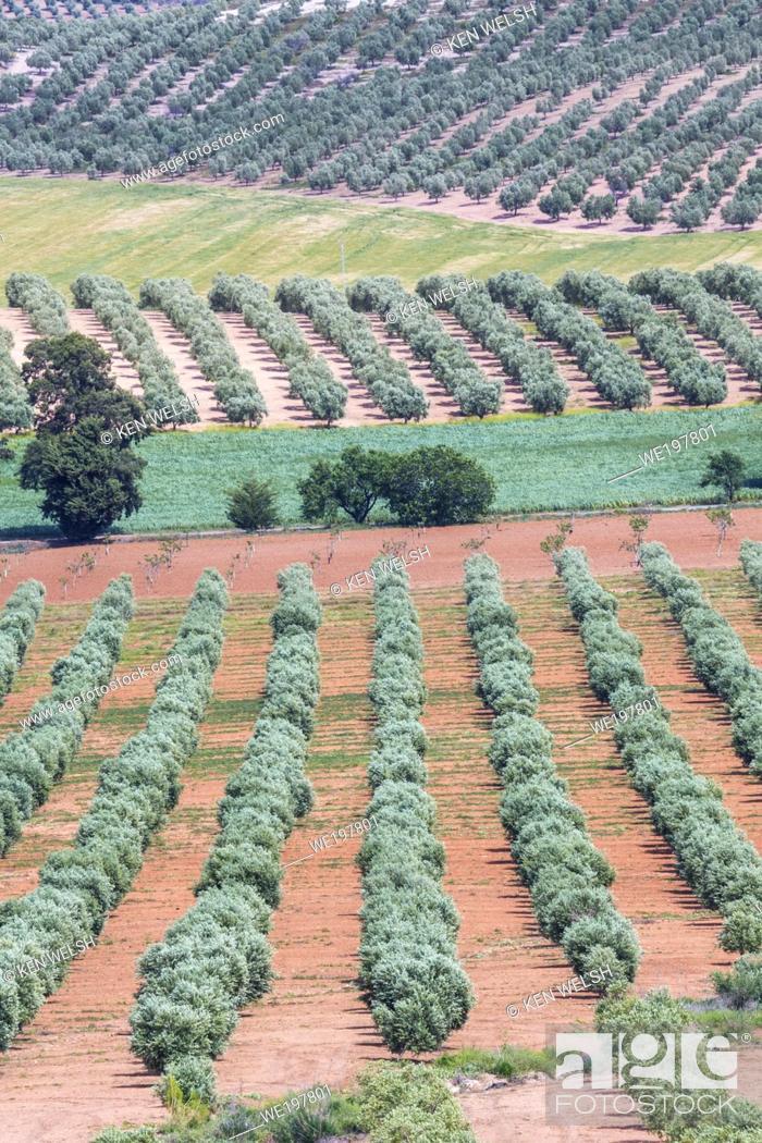 Photo de stock: near Puerto de la Encina, Seville Province, Andalusia, southern Spain. Agriculture. Olive groves.