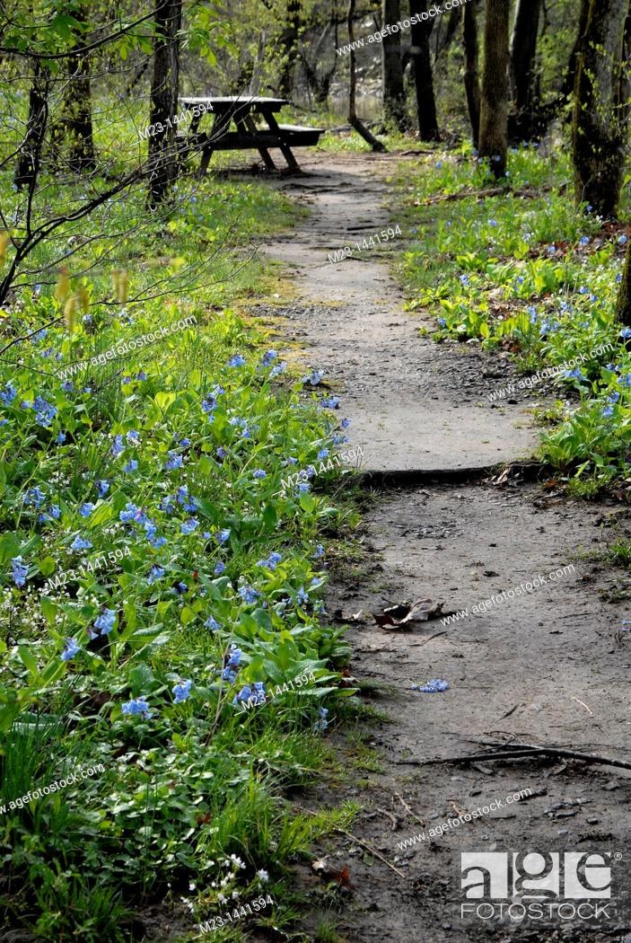 Imagen: Virginia bluebells grow by a path leading to a picnic bench, Pennsylvania, USA.