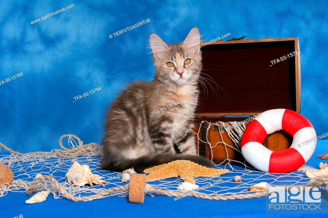 Stock Photo: sitting Maine Coon kitten.