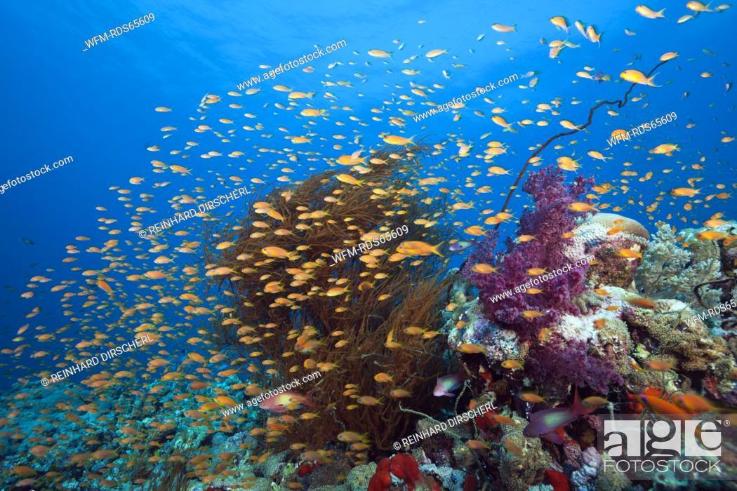 Stock Photo: Lyretail Anthias over Coral Reef, Pseudanthias squamipinnis, Red Sea, Ras Mohammed, Egypt.