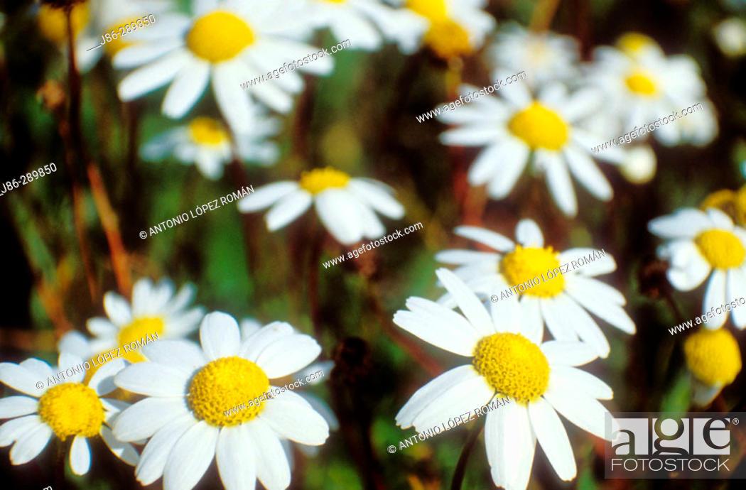 Stock Photo: Daisies (Leucanthemum nobile).