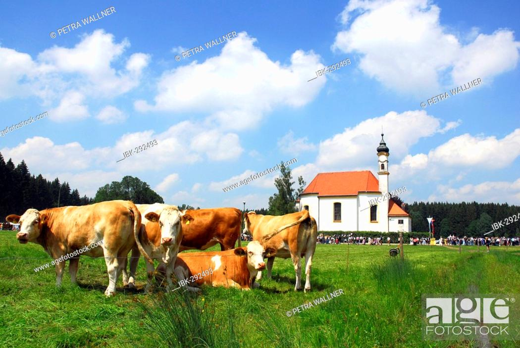 Stock Photo: Cows, Bavaria, Germany.
