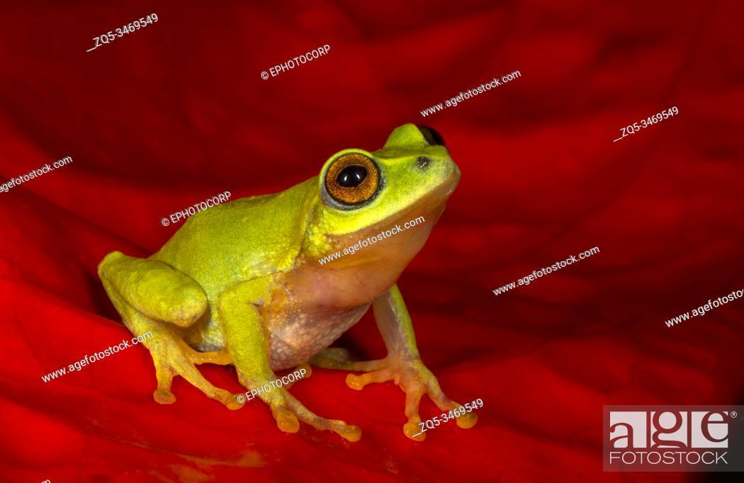 Photo de stock: Raochestes Beddomi endemic to southern Western Ghats of southwestern India in Kerala and Tamil Nadu, Kerala, India.