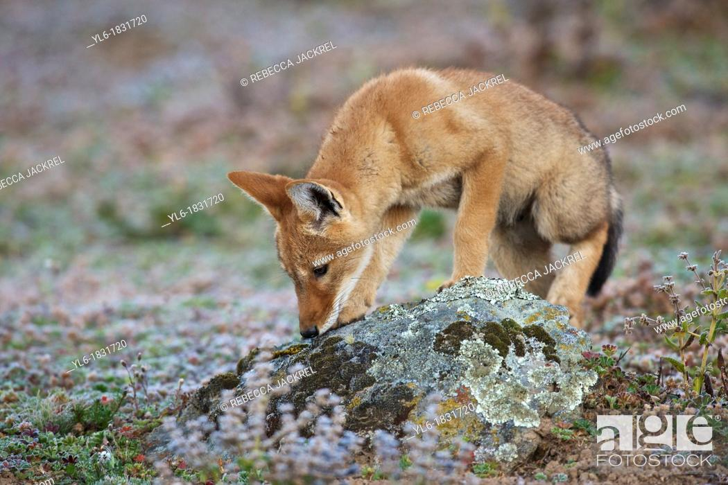 Stock Photo: Ethiopian wolf pup sniffing a rock.