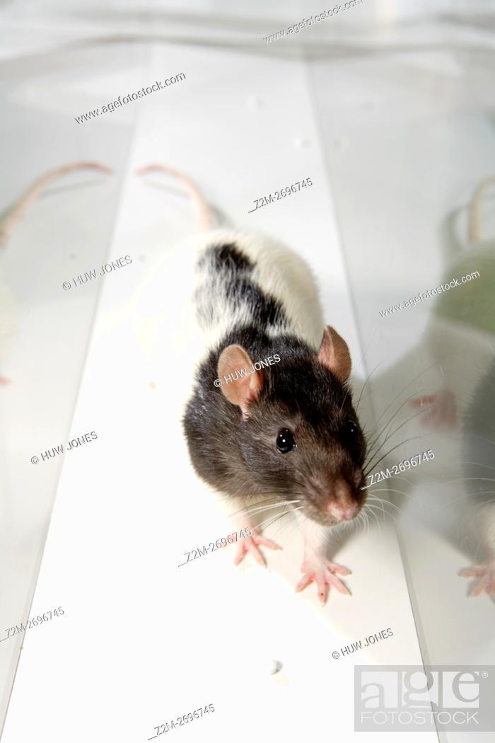 Stock Photo: Laboratory Rat in psychology experiment, glass maze.