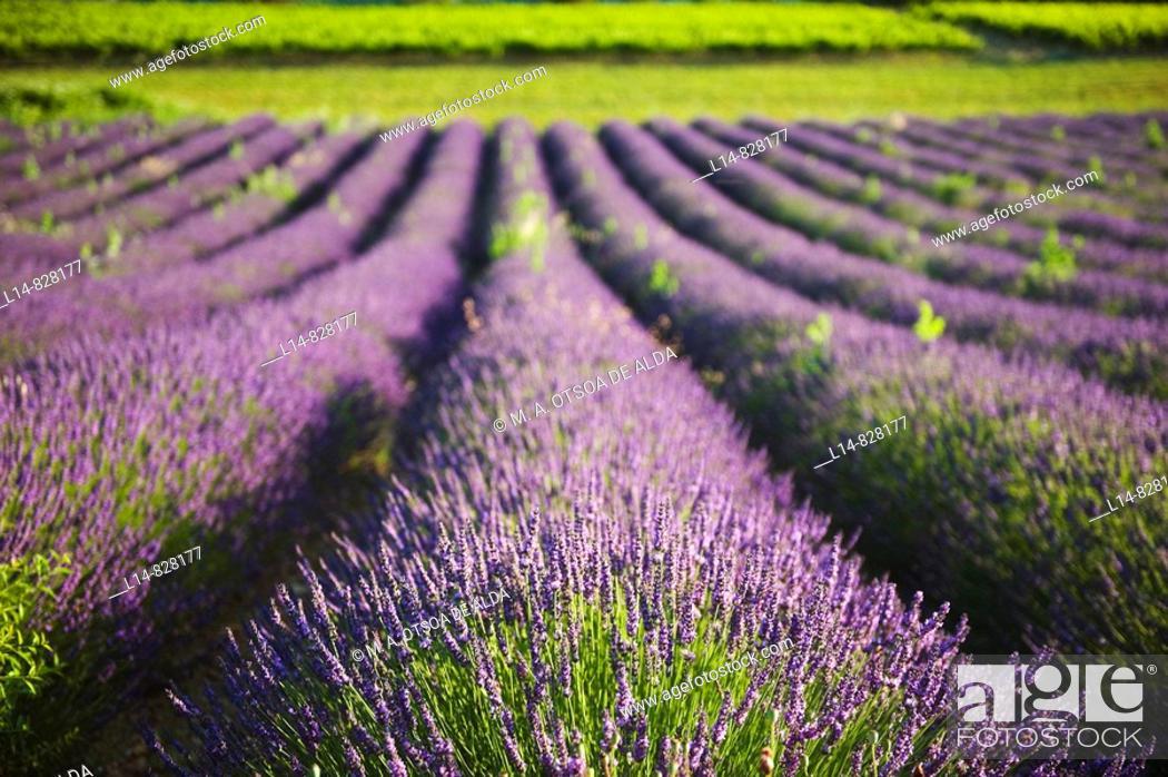 Stock Photo: Lavender field, Provence, France.