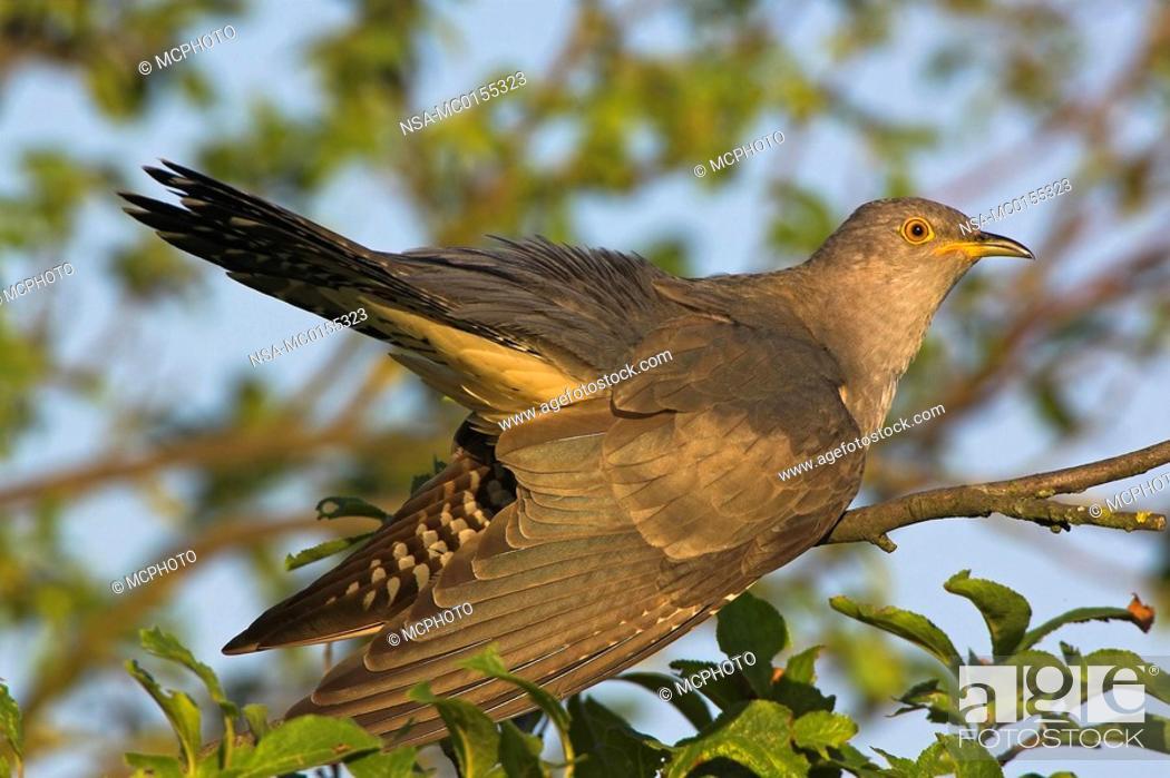 Stock Photo: Cuckoo.