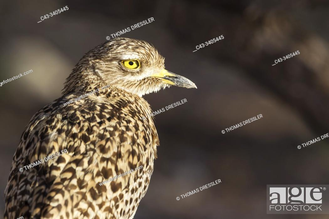 Stock Photo: Spotted Dikkop (Burhinus capensis). Also called Spotted Thick-knee. Kalahari Desert, Kgalagadi Transfrontier Park, South Africa.