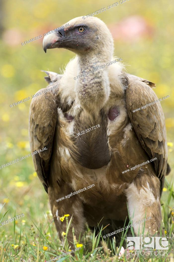 Stock Photo: Griffon vulture perched on the ground in the vicinity of a cadaver, Extremadura, Spain.