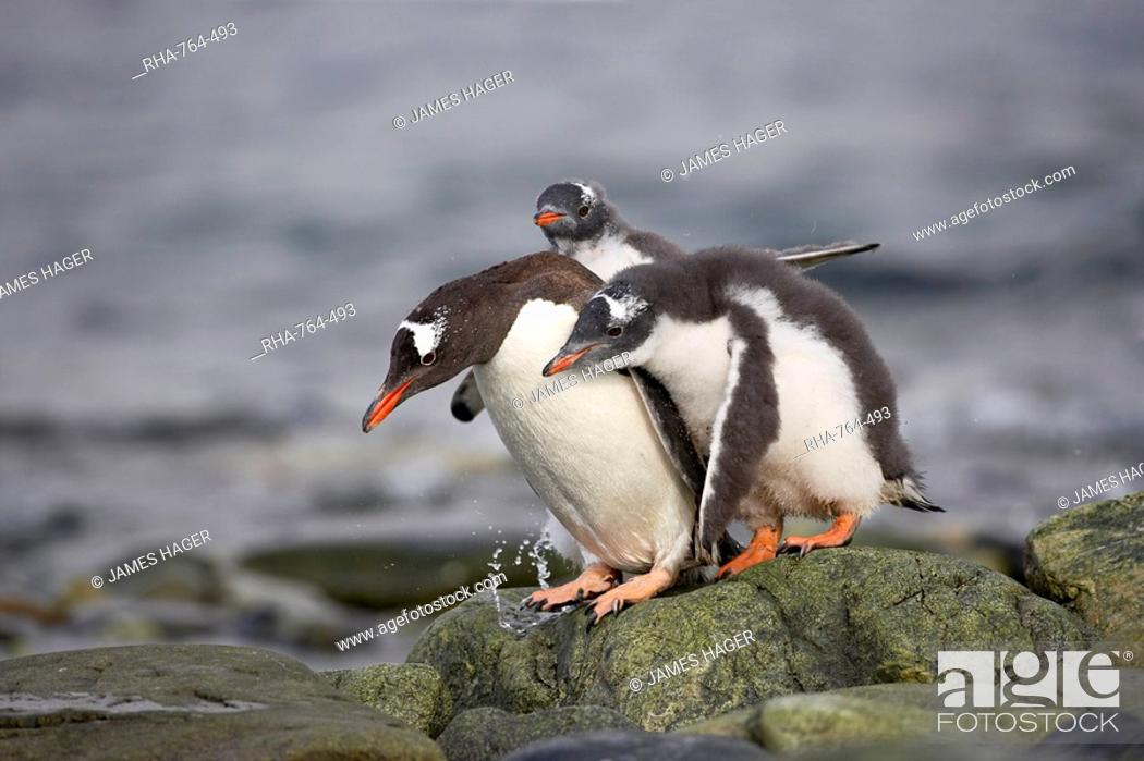 Stock Photo: Gentoo penguin Pygoscelis papua adult with two chicks begging for food, Ronge Island, Antarctic Peninsula, Antarctica, Polar Regions.
