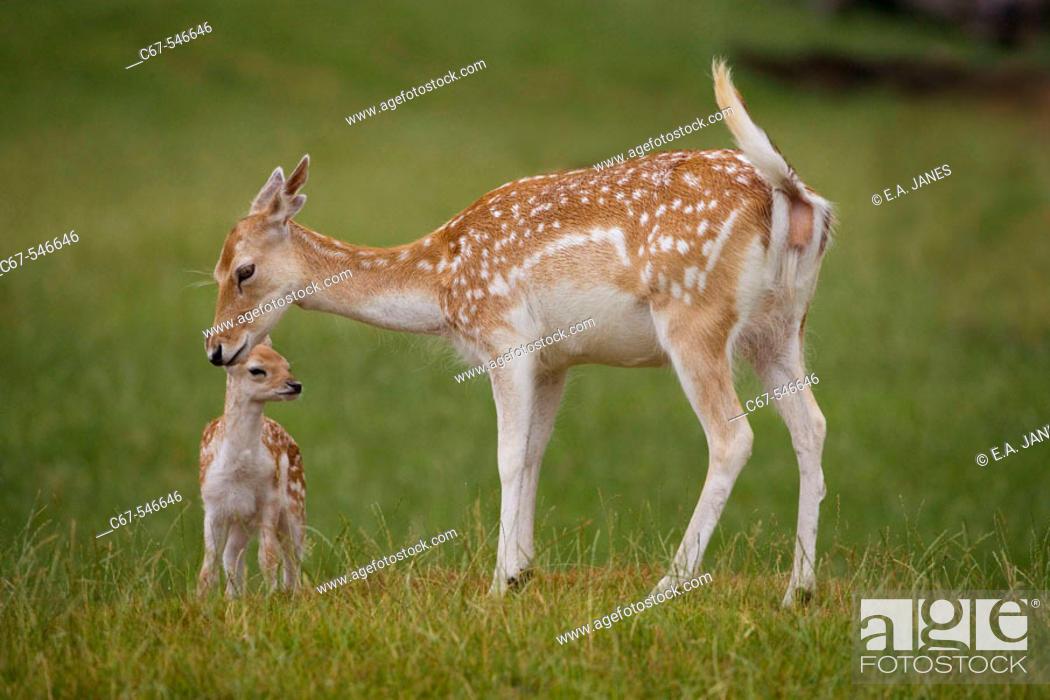 Stock Photo: Fallow Deer (Dama dama).
