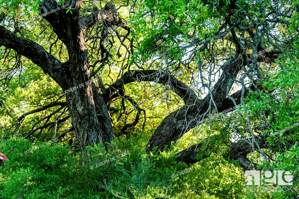 Stock Photo: Branch shapes of a native oak tree in Texas.