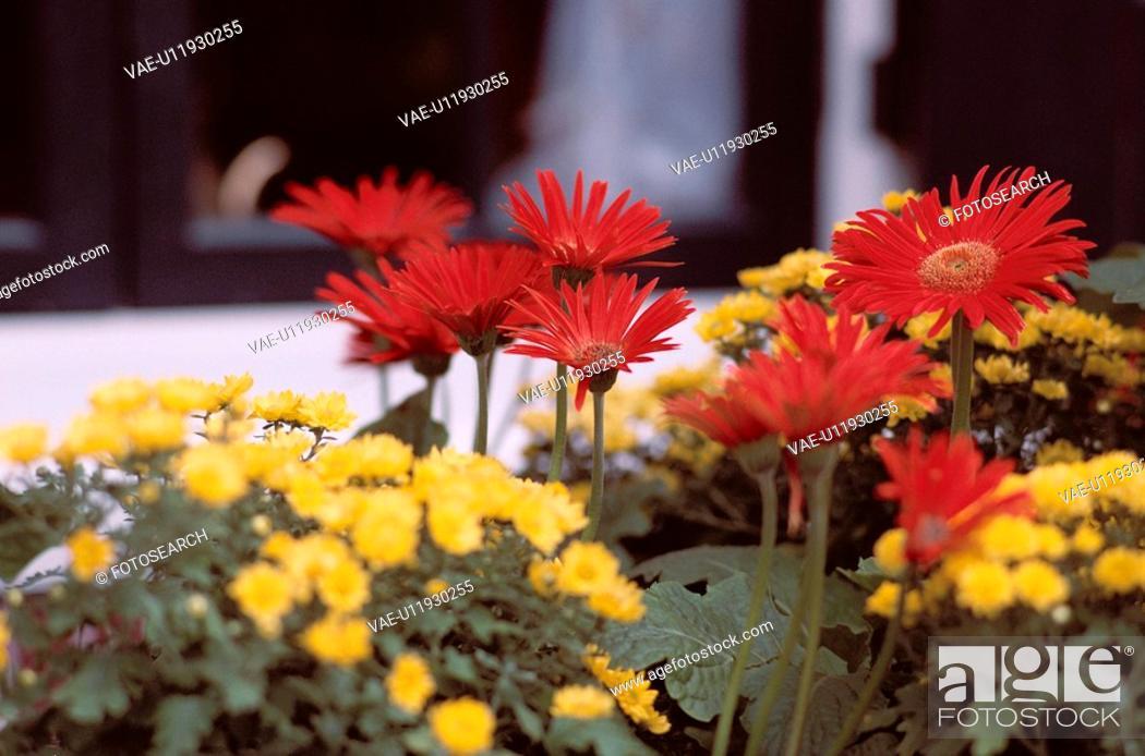 Stock Photo: Chrysanthemums.