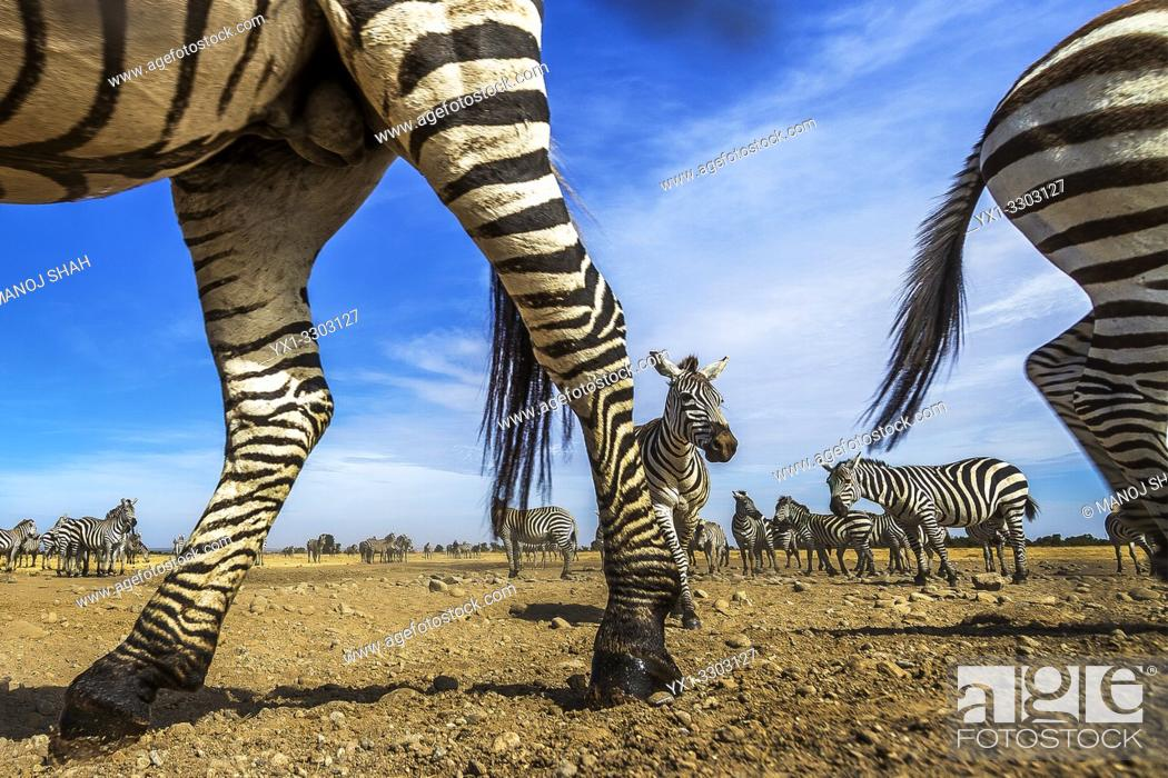 Stock Photo: Zebrae herd in Laikipia savanna.
