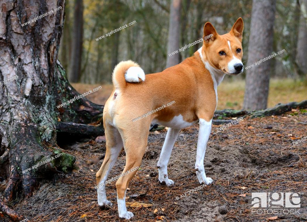 Stock Photo: Basenji dog in the nature in Ystad, Scania, Sweden.