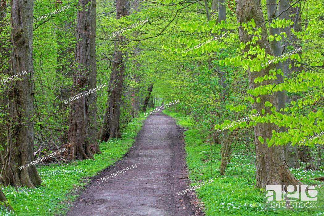 Stock Photo: European beech / common beech (Fagus sylvatica) trees bordering forest avenue / lane in deciduous woodland in spring.