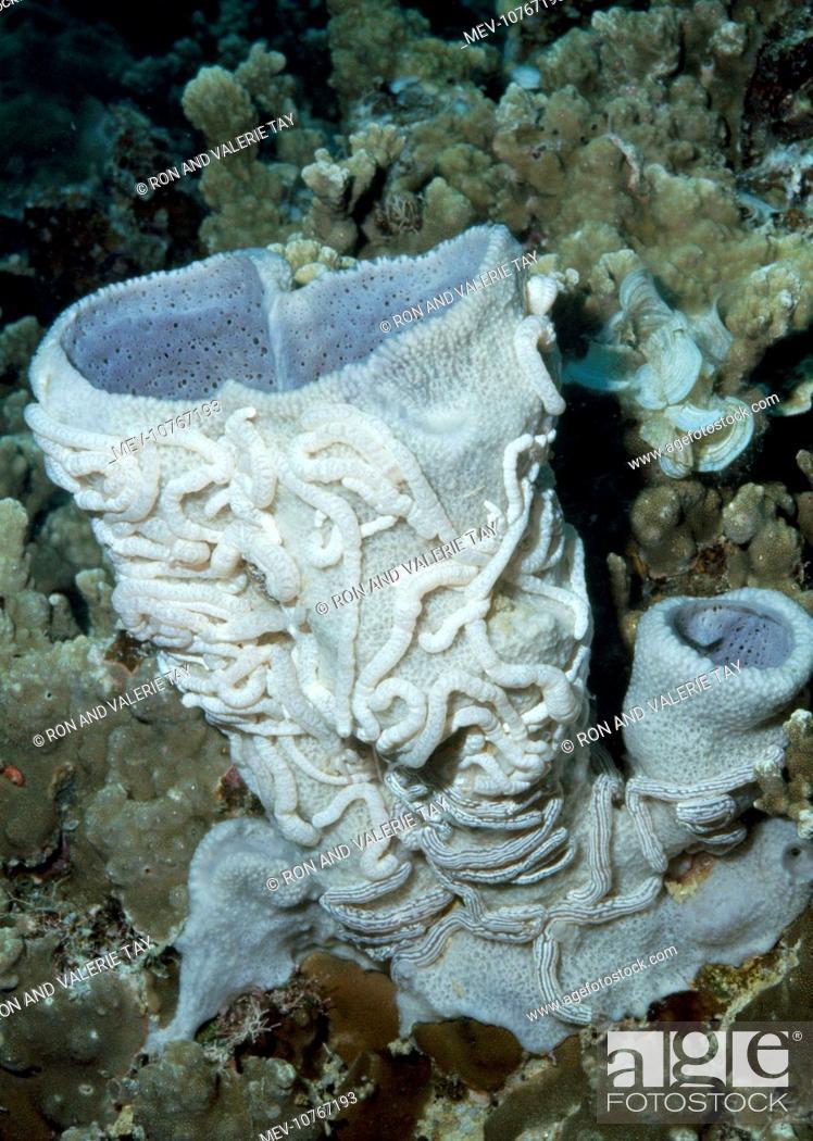 Stock Photo: Synaptula on Vase Sponge.