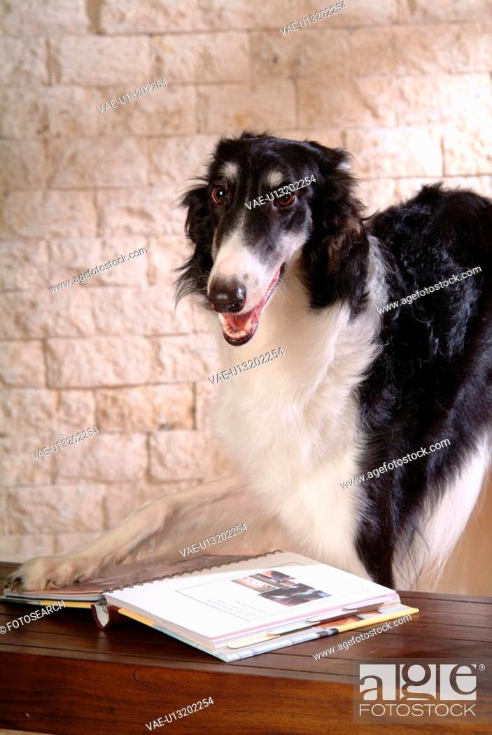 Stock Photo: canine, dog, close up, domestic animal, pet, companion, borzoi.
