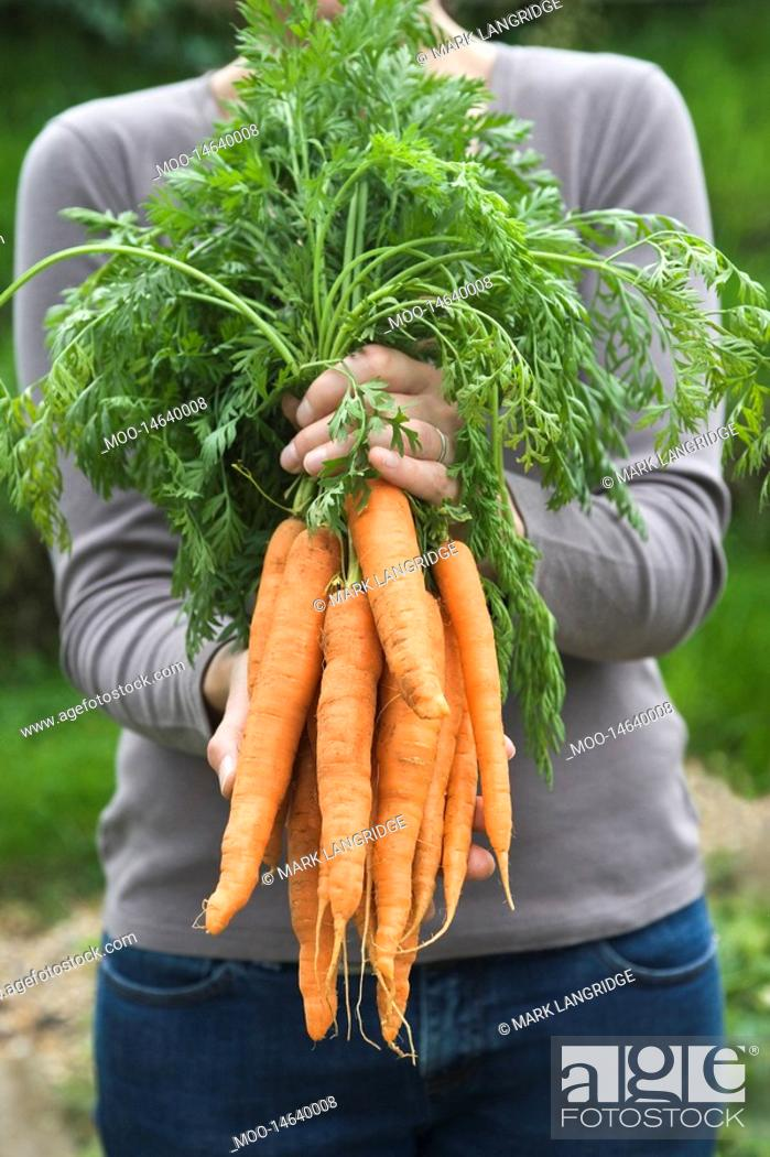 Stock Photo: Woman holding bunch of carrots mid section.