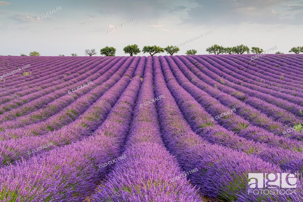 Stock Photo: Lavender raws and trees, Plateau de Valensole, Alpes-de-Haute Provence, Provence, France, Europe.