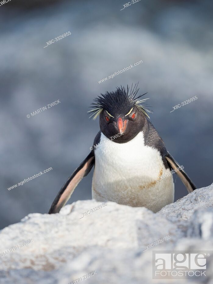Imagen: Climbing through a steep and rocky cliff Rockhopper Penguin (Eudyptes chrysocome), subspecies Southern Rockhopper Penguin (Eudyptes chrysocome chrysocome).