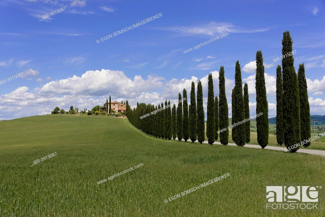 Stock Photo: Cypress avenue to a country house, at Bagno Vignioni, San Quirico d'Orcia, Val d'Orcia, Province of Siena, Tuscany, Italy.