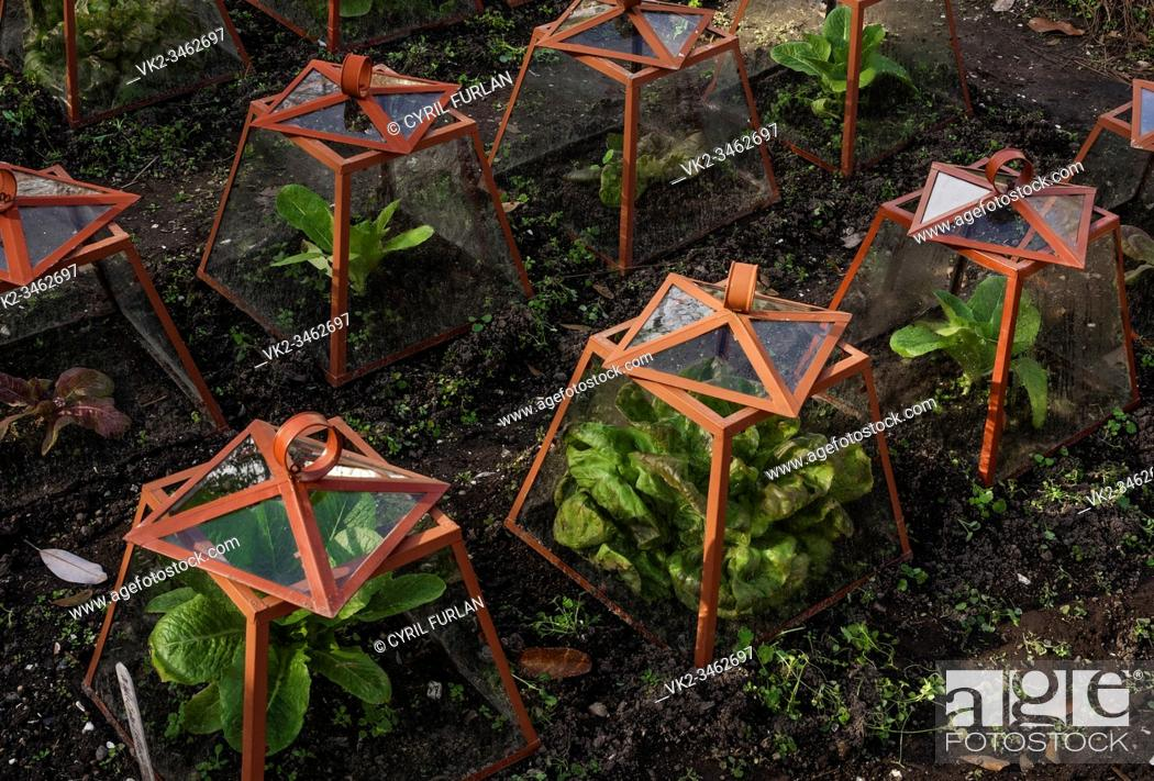 Stock Photo: Glass caps allow plants to survive in the virginia winter season, summer is to hot to grow lettuce in Virginia.