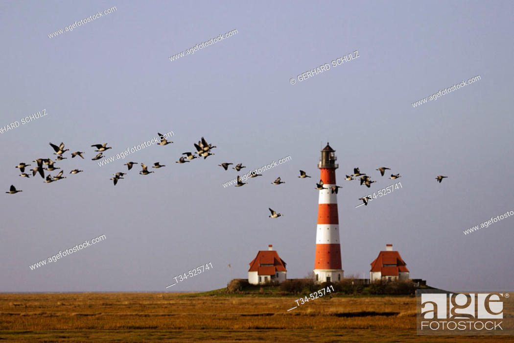 Stock Photo: Lighthouse. Barnacle Geese. Branta leucopsis. Westerhever. Schleswig-Holstein, Germany.