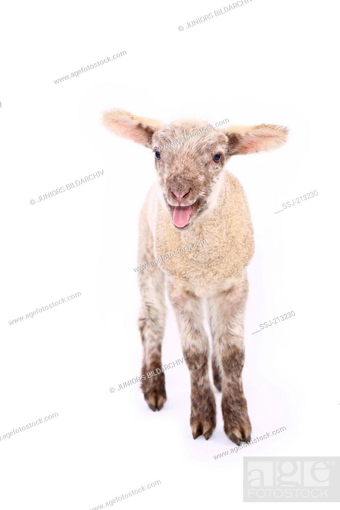 Stock Photo: Domestic sheep. Lamb standing while bleating. Studio picture against a white background. Germany.