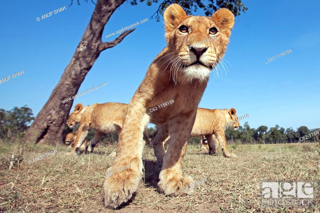 Stock Photo: Lion (Panthera leo) adolescent approaching cautiously -wide angle perspective-, Maasai Mara National Reserve, Kenya.
