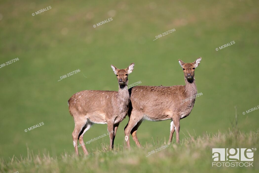 Stock Photo: France, Haute Saone, Private park, Sika Deer Cervus nippon, group of females.