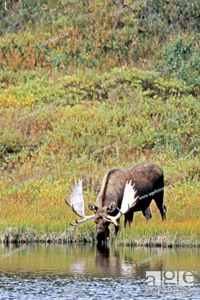 Stock Photo: Elch, am Ende des Winters werfen die Maennchen ihre Geweihe ab - (Alaska-Elch - Foto Elchbulle an einem Tundrasee) / Moose.