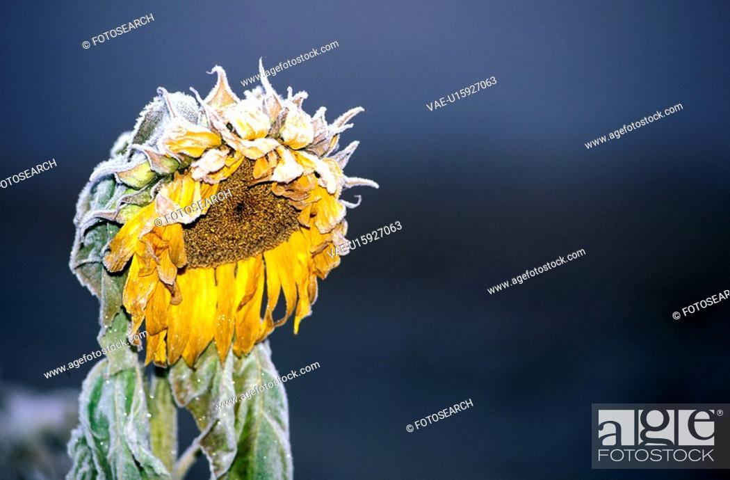 Stock Photo: eiskristalle, austria, cold, calf, autumn, flora, acre.
