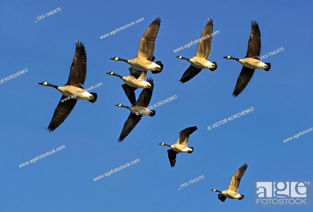 Stock Photo: Flock of Canada Geese Flying in V Formation.