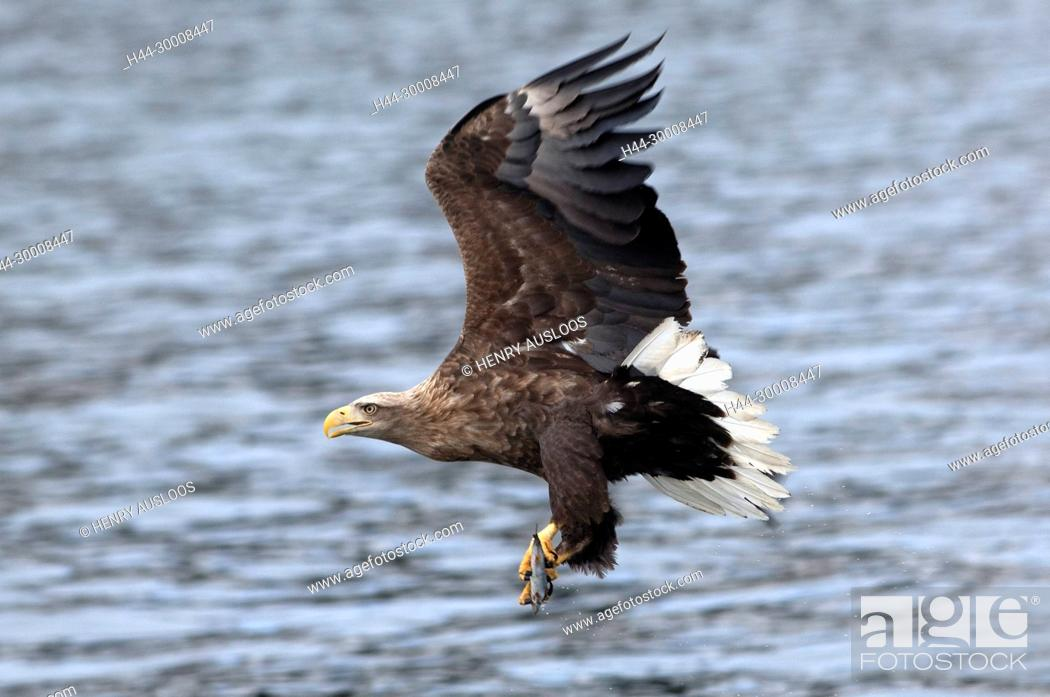 Stock Photo: White-tailed Sea-eagle flying (Haliaeetus albicilla) catching a fish, Japan.
