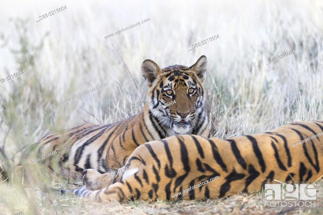 Stock Photo: South Africa, Private reserve, Asian (Bengal) Tiger (Panthera tigris tigris), mother and young 6 months old, resting.