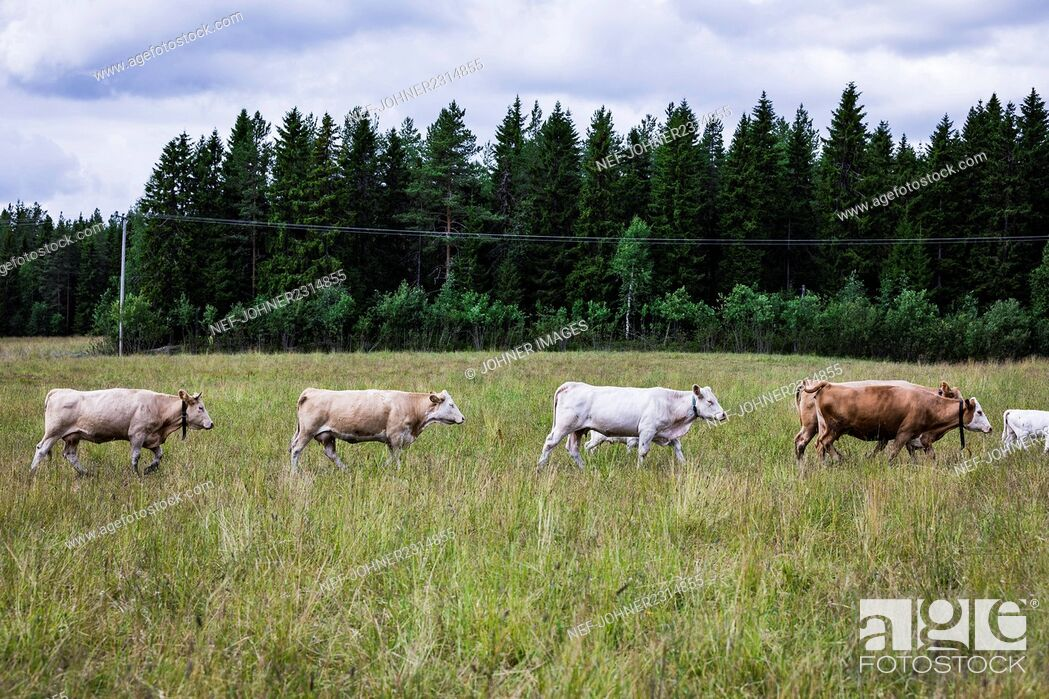 Stock Photo: Cattle on meadow.