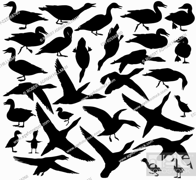 Stock Vector: Set of EPS8 editable vector silhouettes of ducks and ducklings standing, walking, swimming, diving and flying.